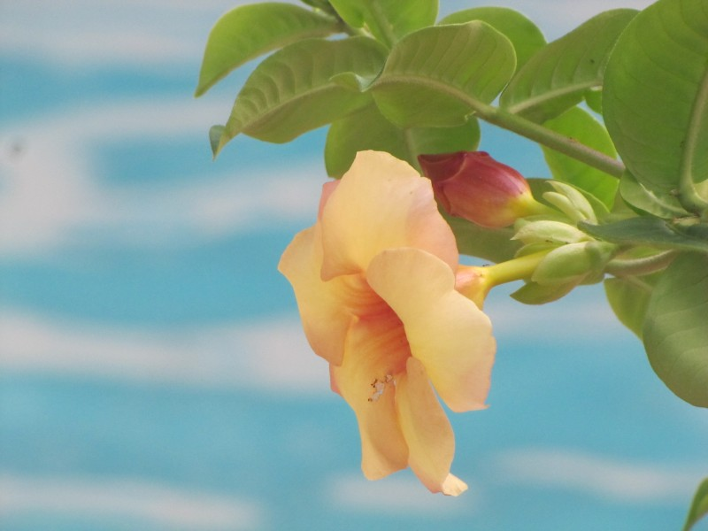 Yellow flower over blue swimming pool